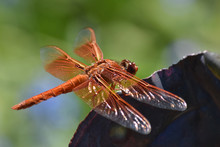 Orange Flame Skimmer