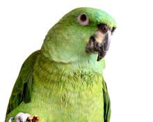 Yellow Nape Amazon Parrot Eating Walnut Isolated On White Background
