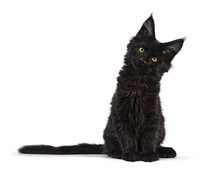 Black Maine Coon Cat Kitten Si...