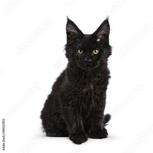 Black Maine Coon cat kitten sitting isolated on white facing camera looking stra Canvas Print