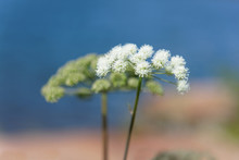 Closeup Of White Queen Annes L...