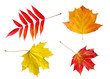 Bright autumn leaves isolated on white background