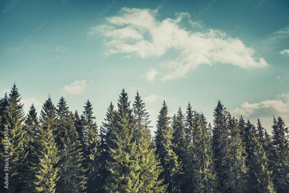 Fototapety, obrazy: Wonderful forest landscape the harmonic rows of the mighty pine trees on the cloudy blue sky background. Natural beauty of the coniferous woods. The Carpathians Mountains. Bukovel. Ukraine.