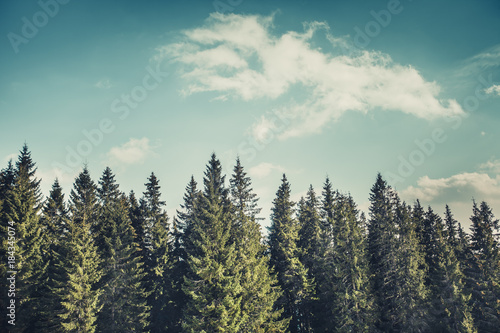 Obraz Wonderful forest landscape the harmonic rows of the mighty pine trees on the cloudy blue sky background. Natural beauty of the coniferous woods. The Carpathians Mountains. Bukovel. Ukraine. - fototapety do salonu