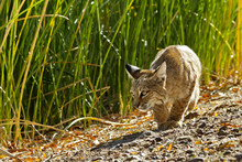 Crouching Hunter Is Wild Bobcat