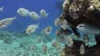Scolopsis ghanam seabreams school of fish in coral relax underwater Red sea. Sweetlips Grunzer striped speckled. Amazing video about marine nature on background of beautiful lagoon.
