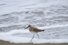 A Sandpiper Wading Along The O...