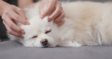 Pet Owner Massage On White Dog