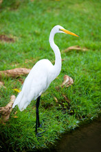 Great Egret On The Background Of A Green Grass