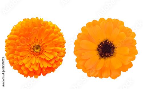 Plakat dwa kwiaty nagietka