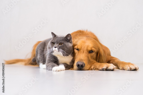 Poster Pierre, Sable Golden retriever and British short cat