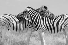 Schwarz Weiss S/W Zwei Zebras ...