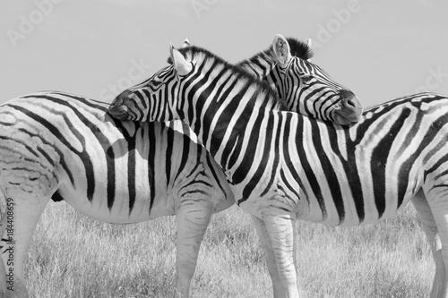 Acrylic Prints Zebra Schwarz weiss S/W zwei Zebras symmetrisch angeordnet beim gegenseitigem sozialen Putzen.Where: Etosha-Nationalpark, Namibia.