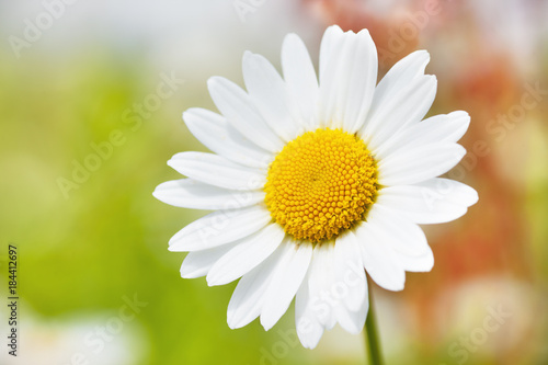 Staande foto Lente Chamomile among flowers