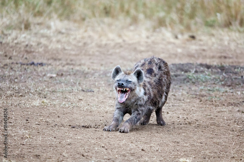 Foto op Canvas Hyena Laughing hyena