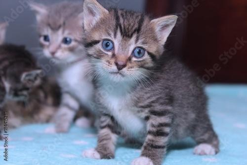 Fototapety, obrazy: FLUFFY LITTLE KITTENS
