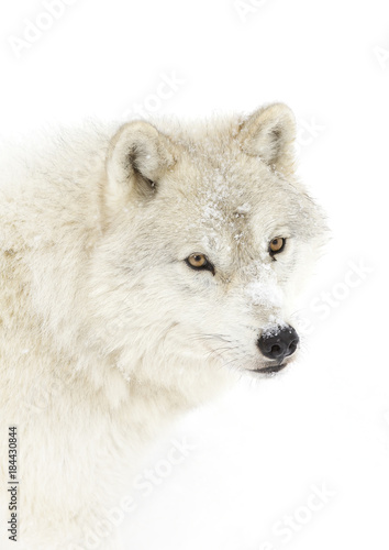 Tuinposter Ijsbeer Arctic wolf (Canis lupus arctos) isolated against a white background closeup in the winter snow