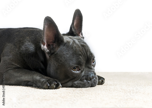 Poster Franse bulldog french bulldog