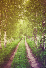 FototapetaAlley of green birches
