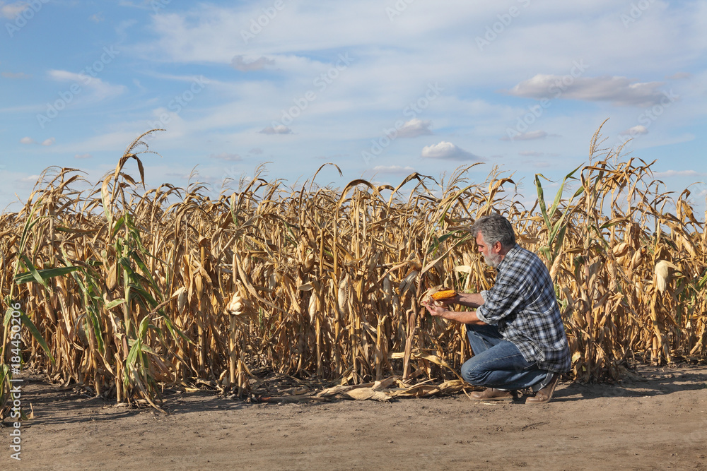 Fototapeta Farmer or agronomist examining corn plant in field after drought, harvest time