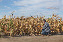 Farmer Or Agronomist Examining...