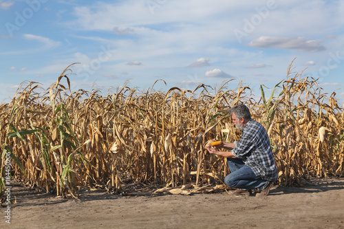 Photographie Farmer or agronomist examining corn plant in field after drought, harvest time