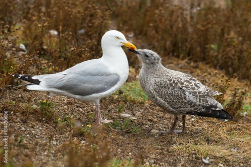 Valokuvatapetti Goéland argenté, Larus argentatus nourrissant son poussin