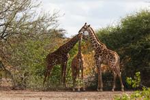 Giraffe Family Browsing In Bush Botswana