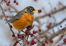 The American Robin (Turdus Mig...