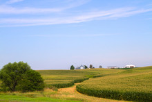 Green Corn Field In Iowa With Elevator And Barn On Background