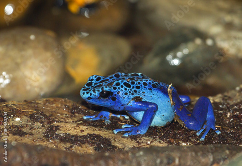 Canvas Print Blue poison dart frog