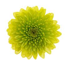 Fresh Green Chrysanthemum Isol...