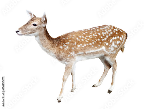 Photo Whitetail deer fawn on white background