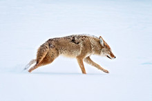 A Coyote Running Across A Snow...