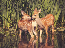 Twin Fawns Nuzzling Each Other...