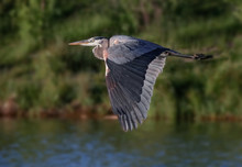 A Great Blue Heron Flying Over...