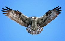 An Osprey Searching For Food W...