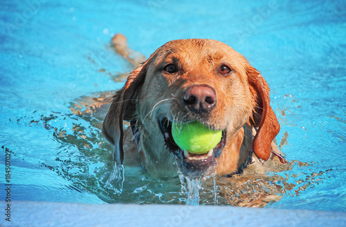 Fotografija a cute dog swimming in a public pool and having a good time during the summer va