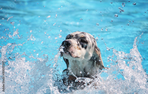 Slika na platnu a cute dog swimming in a public pool and having a good time during the summer va