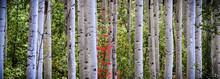 Red Tint Aspen Grove