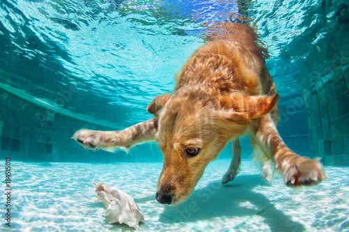 Spoed Foto op Canvas Hond Playful golden labrador retriever puppy in swimming pool has fun. Dog jump, dive underwater to fetch ball. Dog training classes, active games with family pet. Popular breeds activity on summer holiday