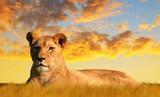 Fototapeta Sawanna - Lioness on the savannah at sunset. Wildlife photo.