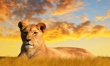 Lioness On The Savannah At Sunset. Wildlife Photo.