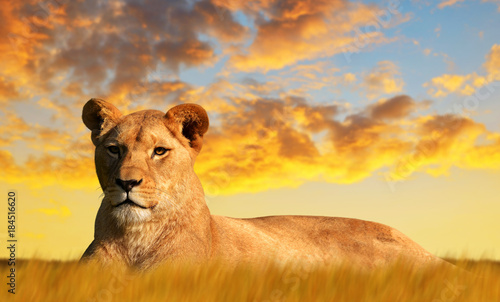 Photo Lioness on the savannah at sunset. Wildlife photo.