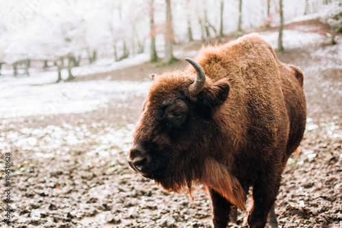 Foto op Plexiglas Bison Bison during winter. European bison (Wisent, Bison bonasus) in winter forest.