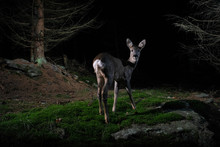 Roe Deer Portrait In The Night...