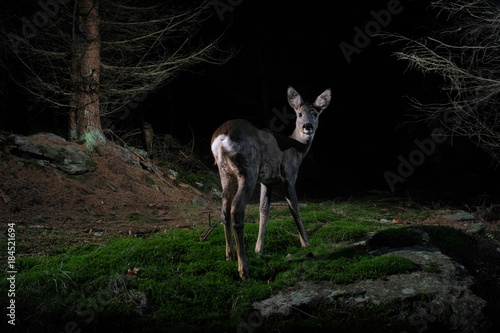 Roe deer portrait in the night from camera trap, nocturnal animals, european wildlife, nature and wilderness, camera trapping in europe