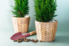 Grow Home Plants Chamaecyparis