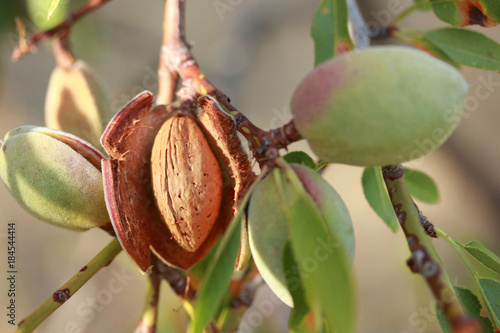 Canvas Print Almonds on a tree