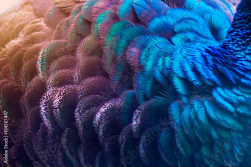 Poster Paon Peacock feathers blue purple Dot Pattern Blue Background